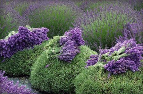 Lavender – Beyond Air Freshener, Potpourri, and Cologne