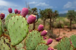 The Predicaments With Prickly Pears
